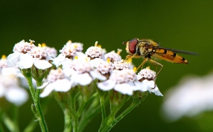 Marmalade fly on Yarrow