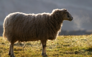 A ewe from Willowford Farm