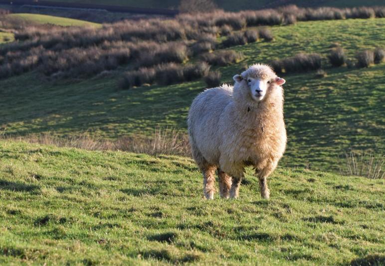 NZ Romney X sheep for sale | Willowford Farm B&B